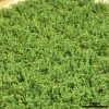 SMALL SHRUBS - LUSH GREEN